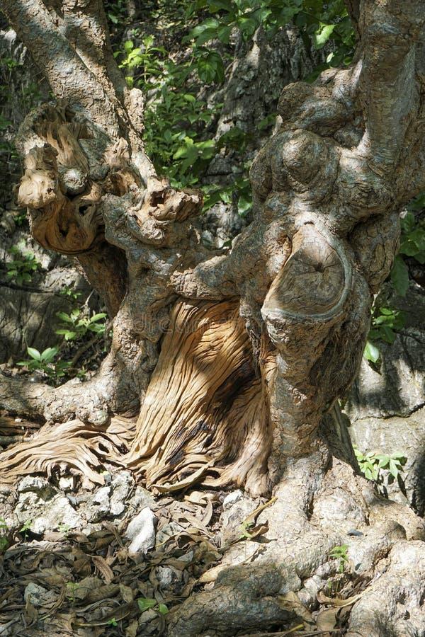 Großer Baum, merkwürdige Form mit tiefem Nutmuster und haben ausbauchende Knöpfe alle über dem Stamm lizenzfreie stockbilder
