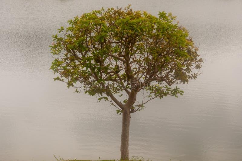 Großer Baum mit Flusshintergrund, Naturkonzept stockfoto