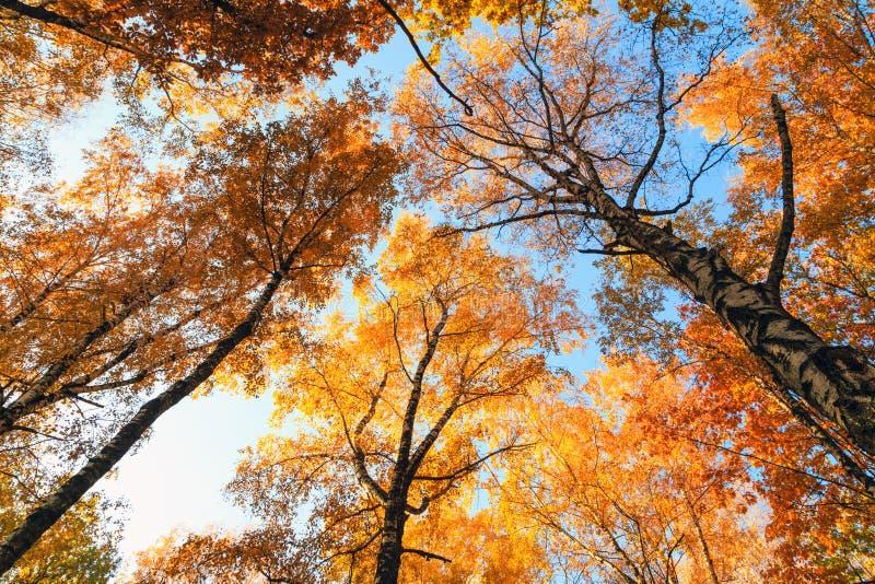 Großer Baum mit Herbstlaubhintergrund lizenzfreie stockfotos