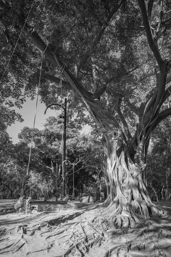 Großer Baum mit Schwarzweiss-Art des hölzernen Schwingens stockbild