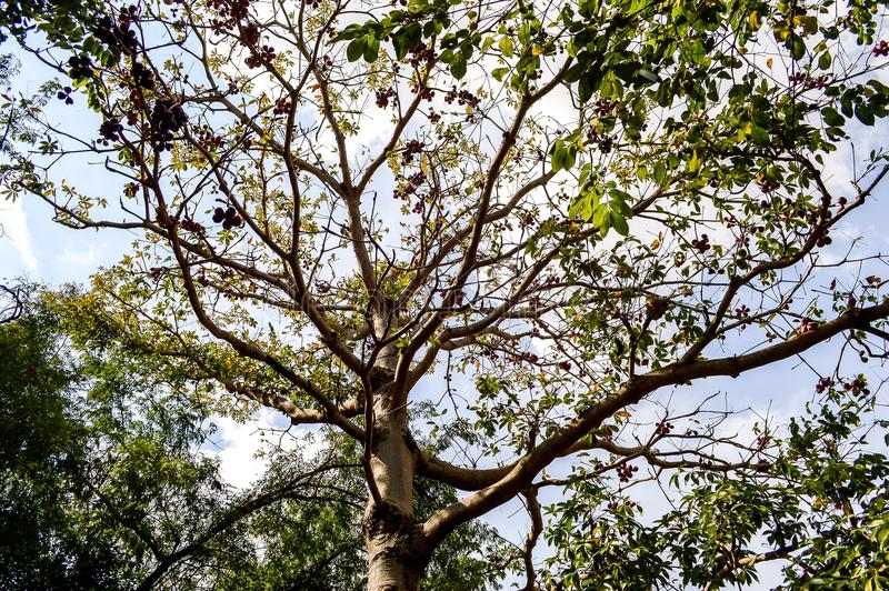 Großer Baum mit vielen Niederlassungen und kleinen grünen Blättern lizenzfreies stockfoto