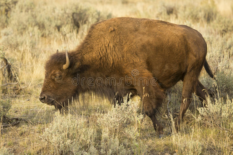 Großer Bison, der in den Wiesen von Yellowstone Nationalpark grast, lizenzfreies stockbild