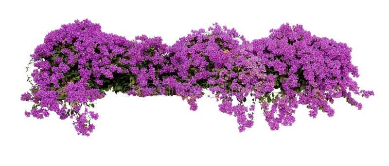 Großer blühender ausgebreiteter Strauch des purpurroten Bouganvillas tropisch lizenzfreie stockbilder