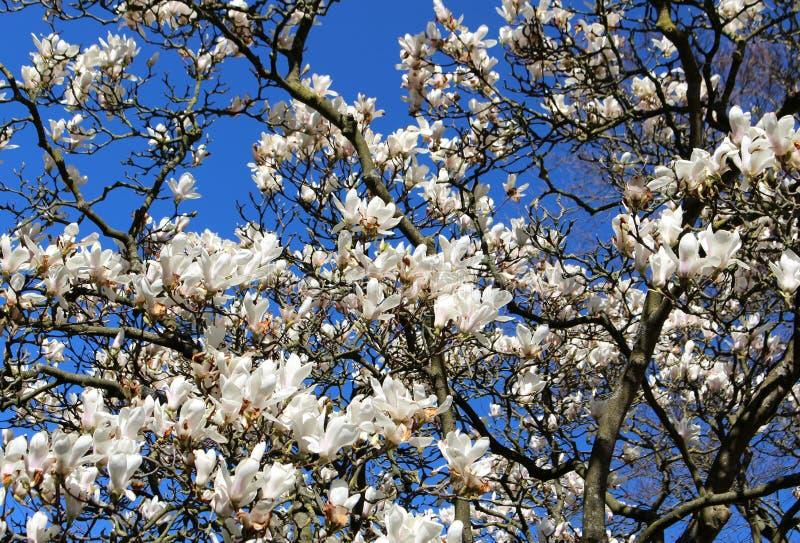 Großer blühender Baum der Magnolie Niederlassungen und weiße Blumen auf einem Hintergrund des blauen Frühlingshimmels lizenzfreies stockfoto