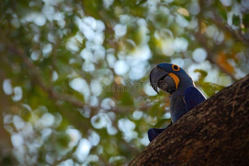 Großer blauer Papagei Hyacinth Macaw, Anodorhynchus-hyacinthinus, im Baumnesthohlraum, Pantanal, Bolivien, Südamerika stockbilder