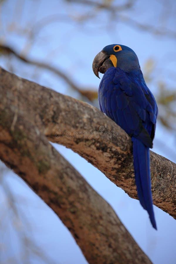 Großer blauer Papagei Hyacinth Macaw, Anodorhynchus-hyacinthinus, sitzend auf der Niederlassung mit blauem Himmel, Pantanal, Bras stockfotos