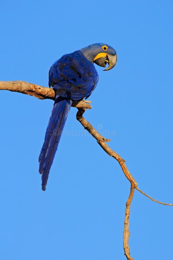 Großer blauer Papagei Hyacinth Macaw, Anodorhynchus-hyacinthinus, sitzend auf der Niederlassung mit dunkelblauem Himmel, Pantanal stockfoto