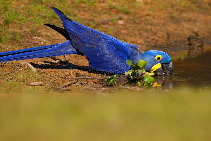Großer blauer Papagei Hyacinth Macaw, Anodorhynchus-hyacinthinus, Trinkwasser in dem Fluss Rio Negro, Pantanal, Brasilien, Südame lizenzfreie stockfotografie