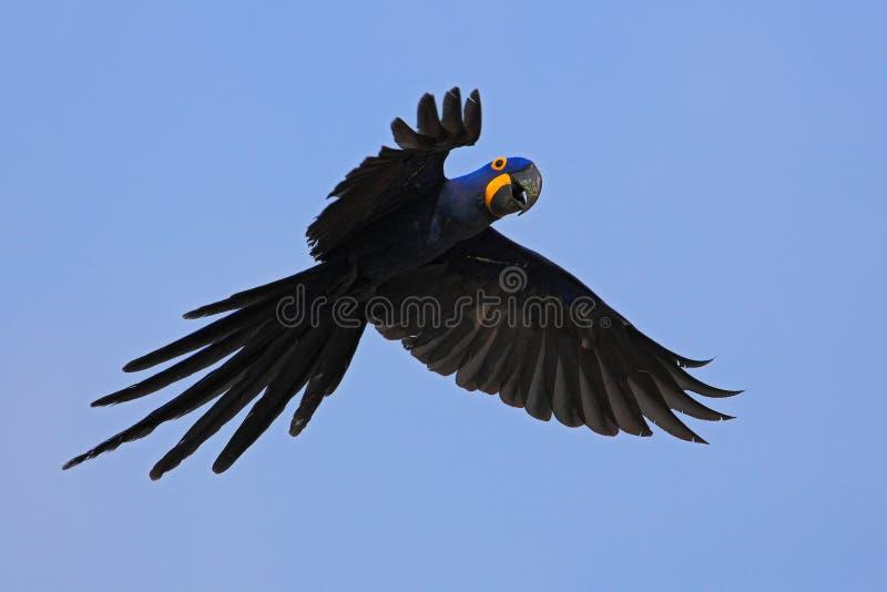 Großer blauer Papagei Hyacinth Macaw, Anodorhynchus-hyacinthinus, wildes Vogelfliegen auf dem dunkelblauen Himmel, Actionszene im lizenzfreies stockfoto