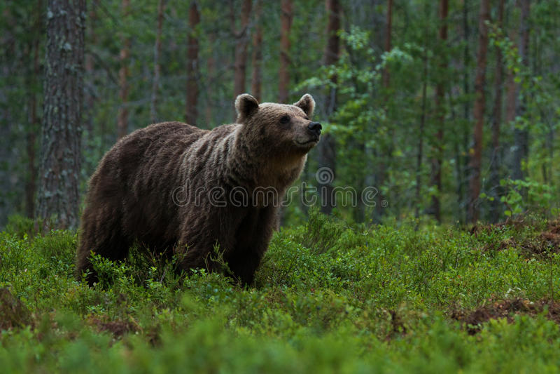 Großer Braunbär, der im Wald schnüffelt stockbilder