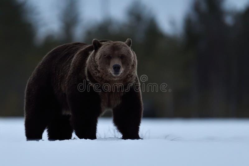Großer Braunbär nach Winterschlaf auf Schnee stockfoto