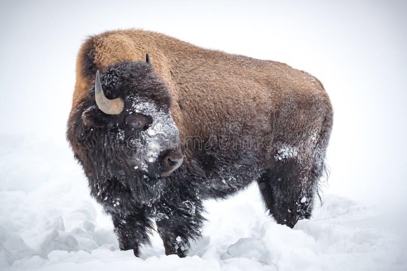 Großer brauner, gehörnter Bison, Büffel, bedeckt im Schnee in Yellowstone stockfotos