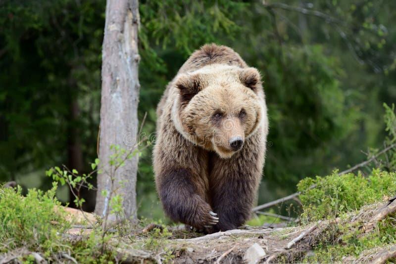 Großer Brown-Bär im Wald stockfotos