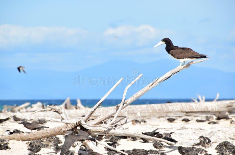 Großer Brown-Dummkopfvogel, der auf einem toten Baumast in Michaelmas-Cay, Great Barrier Reef stillsteht lizenzfreie stockfotografie