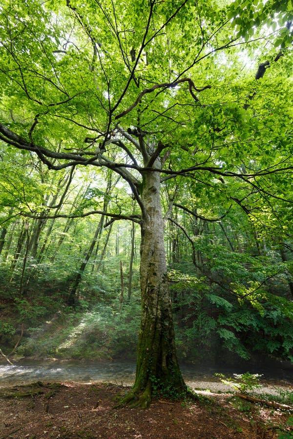 Großer Buchenbaum durch den Fluss stockbilder