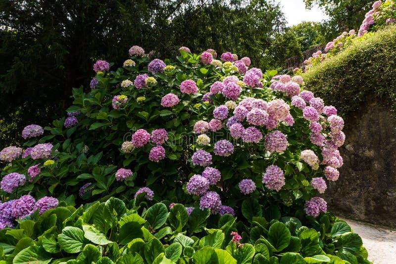 Großer Busch der rosa Blumenhortensie, die im Garten blüht stockfotografie