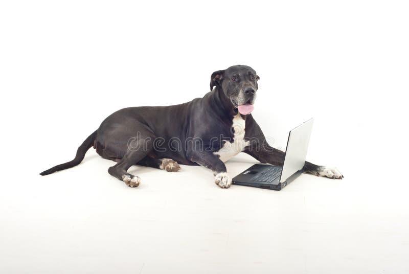 Großer Däne mit Laptop lizenzfreie stockbilder