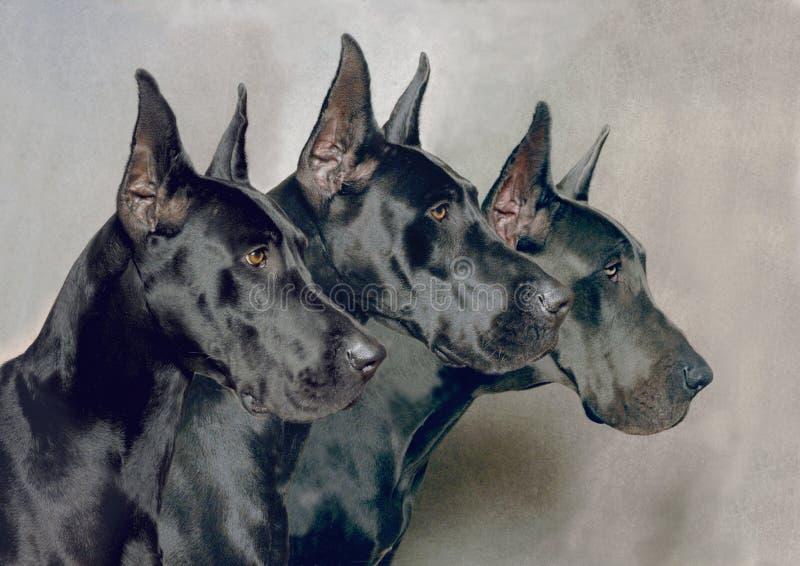 Großer Däne-Trio lizenzfreie stockfotografie