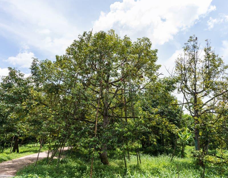 gro er durianbaum mit h lzerner spreize stockbild bild von st tze frisch 80272471. Black Bedroom Furniture Sets. Home Design Ideas