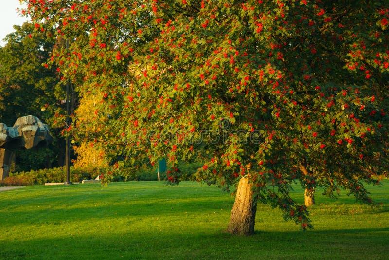 Großer Ebereschenbaum und reife Beeren stockfotos