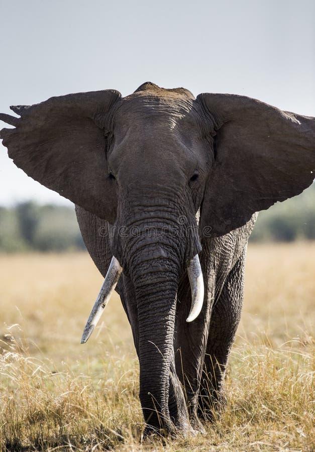 Großer Elefant in der Savanne afrika kenia tanzania serengeti Maasai Mara lizenzfreies stockfoto