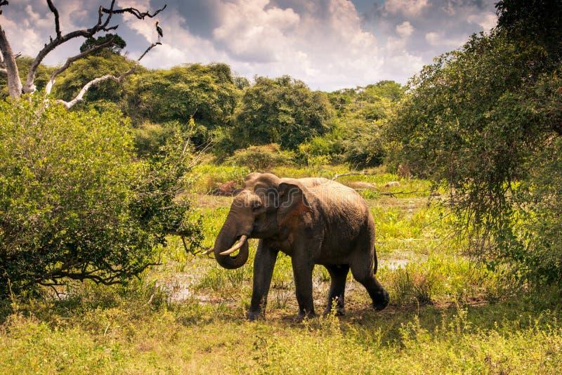 Großer Elefant in Yala-Safari, Sri Lanka stockbild