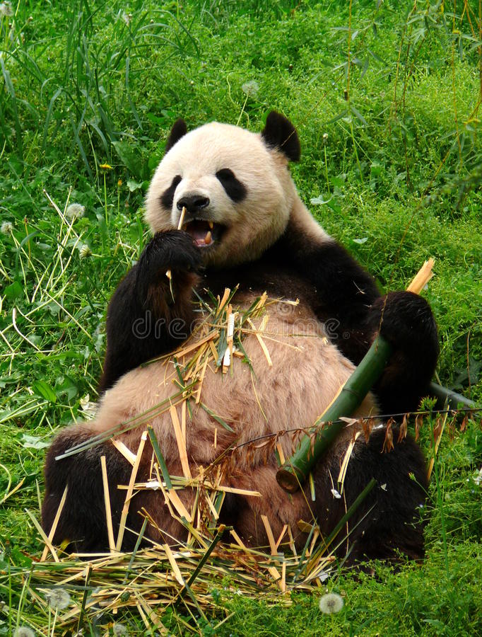 gro er erwachsener pandab r der bambus isst stockbild. Black Bedroom Furniture Sets. Home Design Ideas