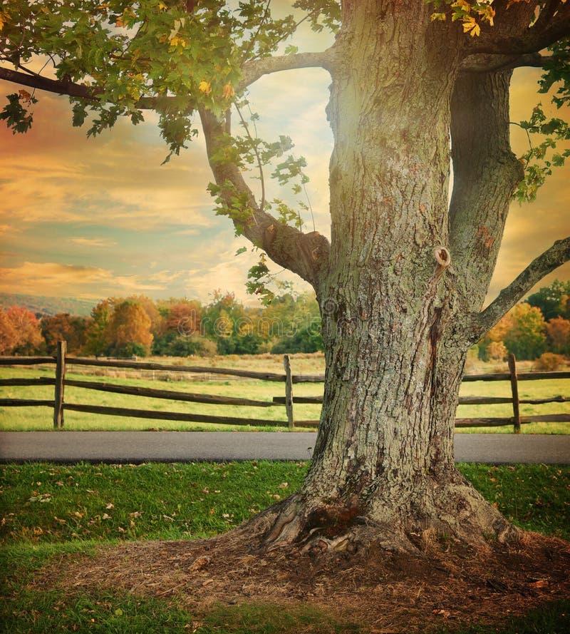 Großer Fall-Baum mit Bretterzaun Background stockfoto