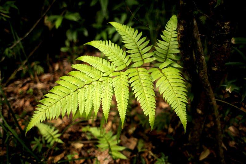 Großer Fern Leaf lizenzfreie stockfotos