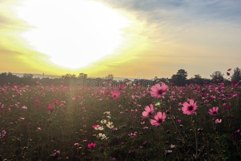 Großer Frühling fängt Konzept auf Wiese mit blühen rosa und weißer Kosmos blüht im Frühjahr Jahreszeit an der Ecke mit Copyspace lizenzfreies stockfoto