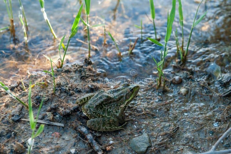 Großer Frosch oder Kröte durch den Fluss stockbild