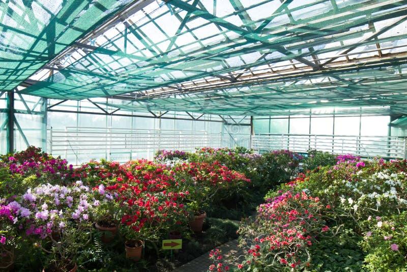 Großer Garten von Azaleen im botanischen Garten lizenzfreie stockbilder