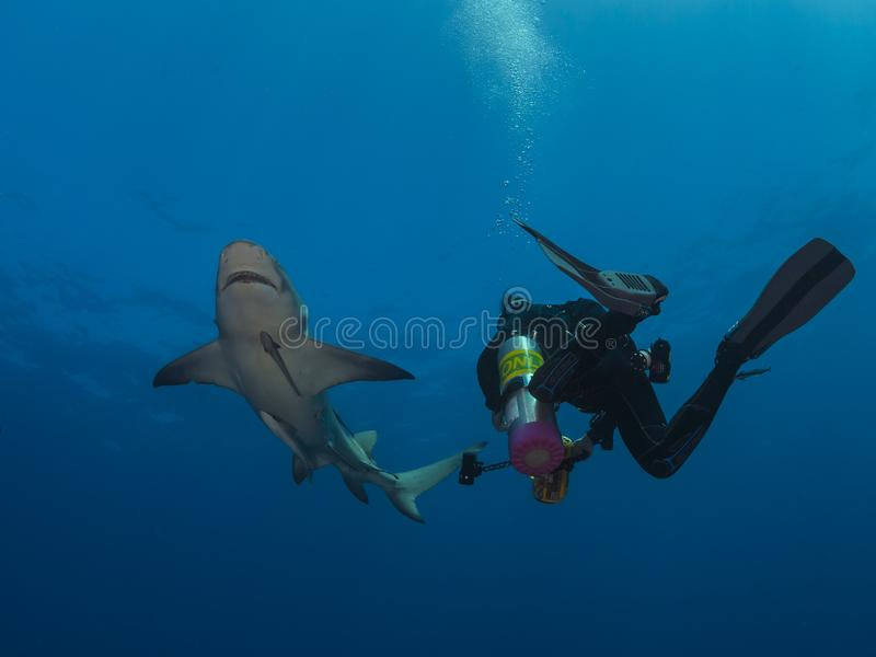 Großer gefährlicher Zitronenhaischwimmenabschluß um Sporttaucher auf blauem Ozeanhintergrund lizenzfreies stockfoto