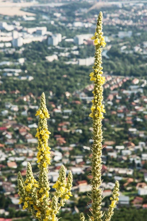 Großer gelber Enzian - Enzian-lutea lizenzfreies stockbild