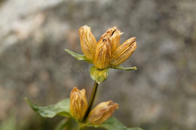 Großer gelber Enzian, Enzian-lutea stockfotografie