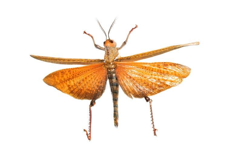 Großer gelber Käfer, Isolat auf einem weißen Hintergrund, tropidacris dux lizenzfreie stockfotografie
