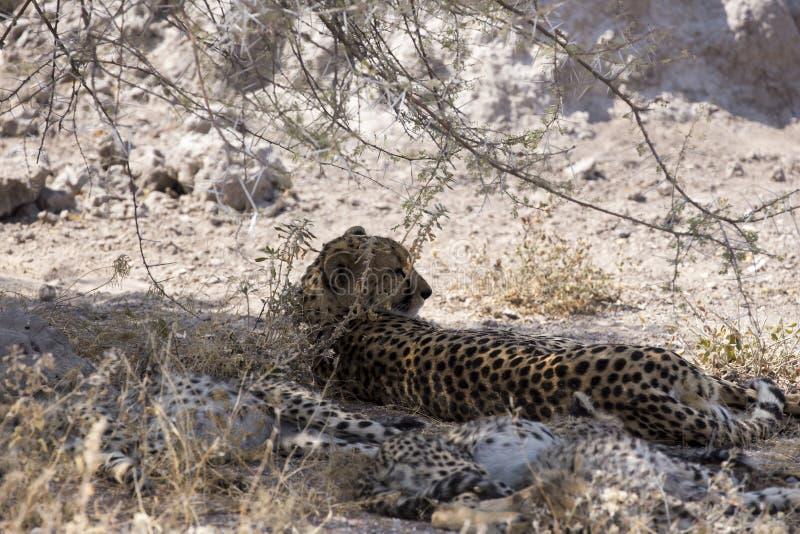 Großer Gepard mit Welpen stockfotografie