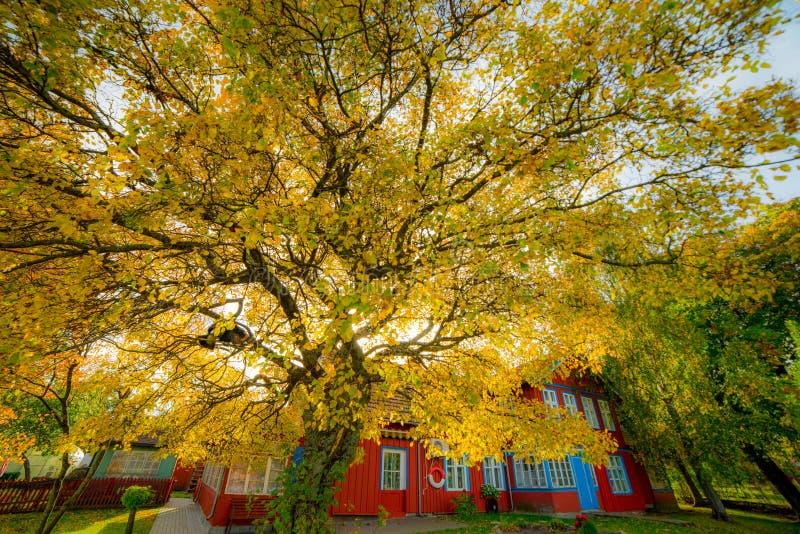 Großer goldener Herbstbaum nahe Holzhaus stockfotografie