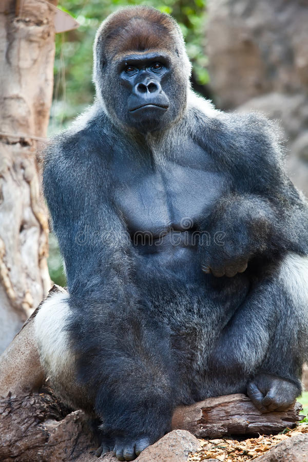 Großer Gorilla stockfoto