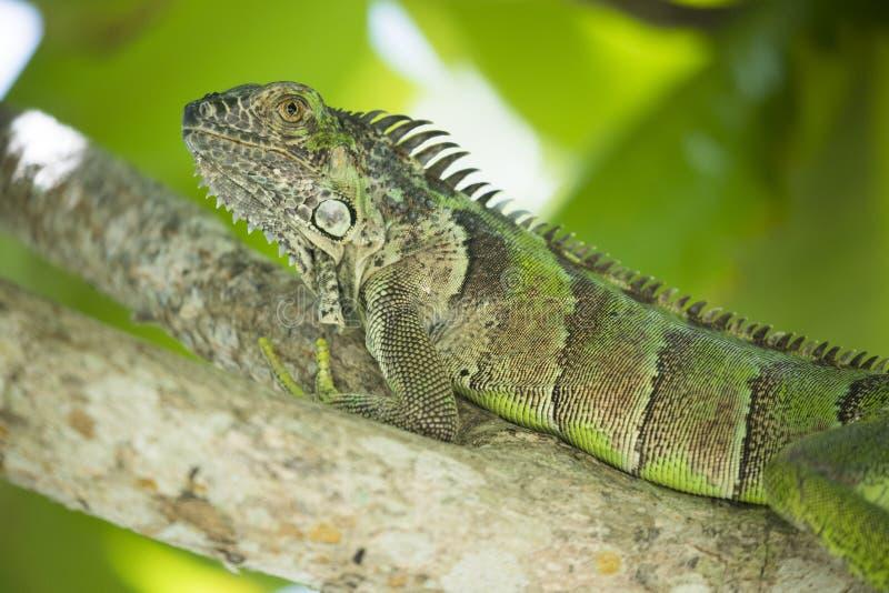 Großer grüner Leguan, der im grünen tropischen Baum stillsteht stockfoto