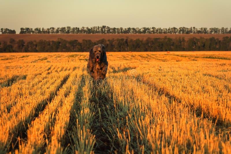 Großer grauer irischer Wolfshund läuft entlang die Stoppel lizenzfreies stockbild
