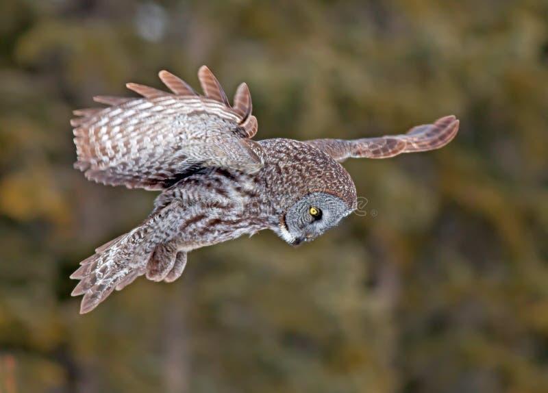 Großer Gray Owl lizenzfreie stockfotos