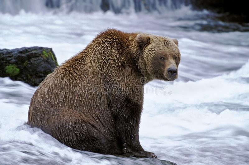Großer Grizzlybär, der für Lachse fischt stockfotografie