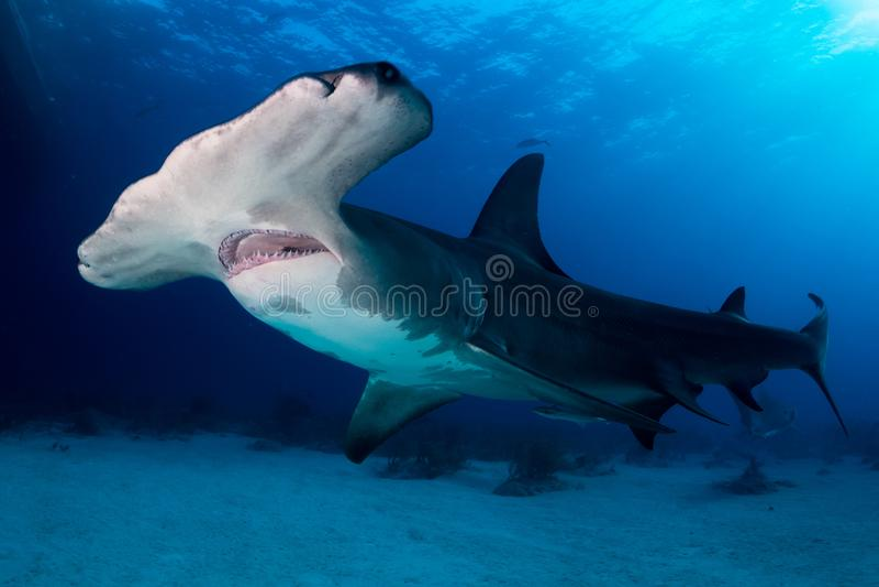 Großer Hammerhaihaifisch Bahamas stockfotografie