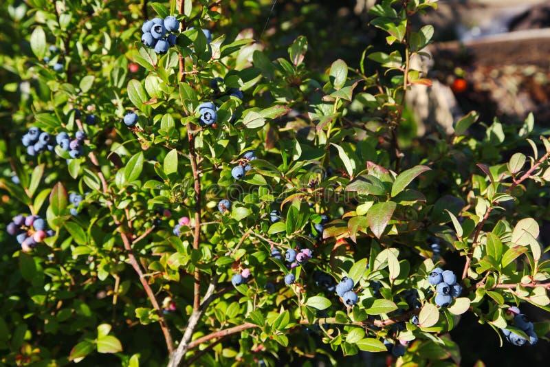 Großer hellblauer Beerenblaubeergarten, ein Bündel und ein verstecktes grünes Laub auf den Niederlassungen eines Busches wachsend stockfotografie