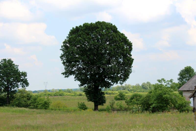 Großer hoher Baum mit den dichten Blättern umgeben mit hohem ungeschnittenem Gras stockbild
