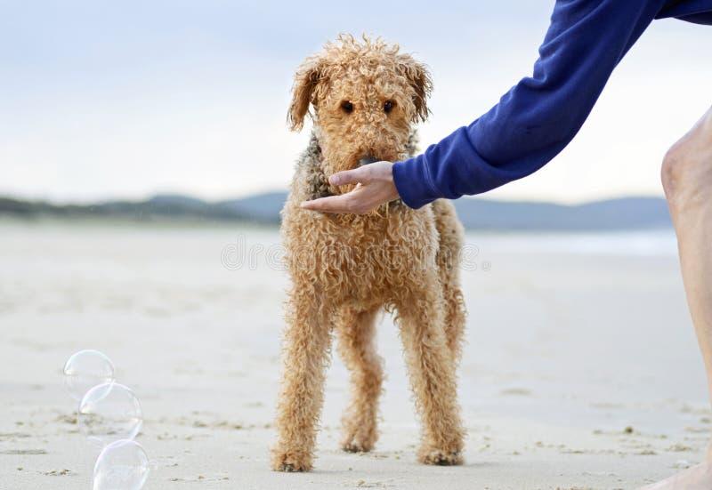 Großer Hund Airedales Terrier, der Festlichkeit von der Person am Spaßtag am Strand erhält lizenzfreie stockfotos