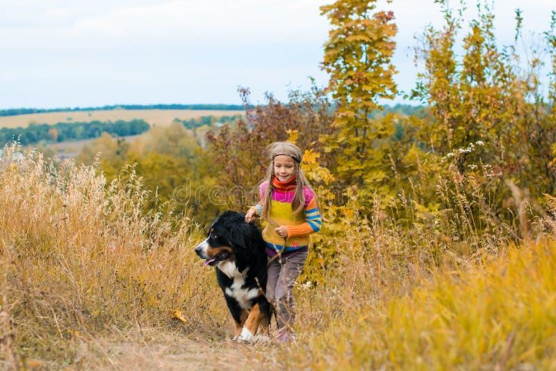 Großer Hund Berner Sennenhund auf Weg durch Herbstwiese lizenzfreie stockbilder