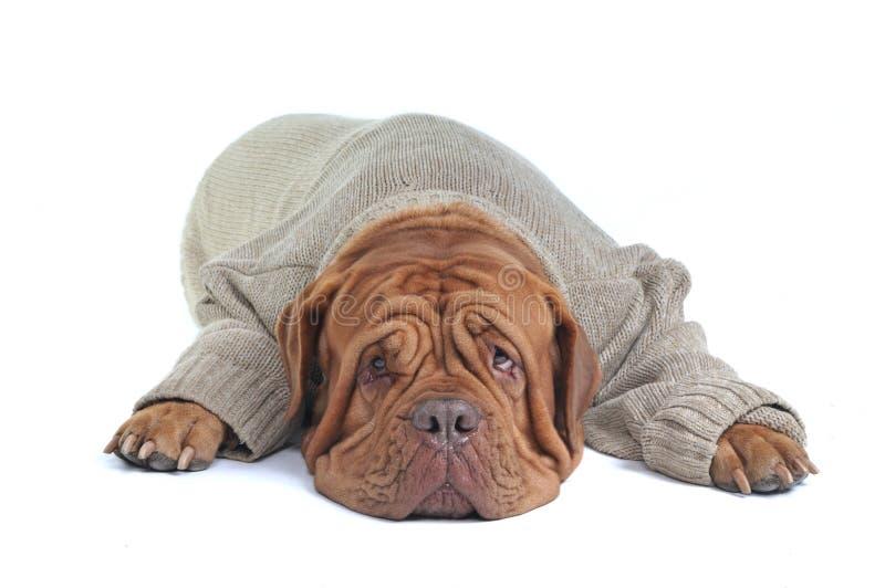 Großer Hund, der in der Strickjacke liegt stockbild