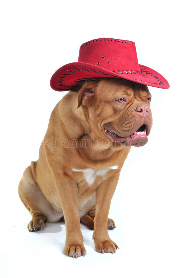 Großer Hund im Cowboyhut lizenzfreie stockfotografie